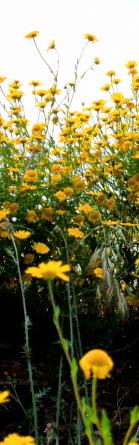 gele bloemen witte lucht#4F